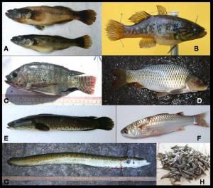 Lake Mainit Fishes