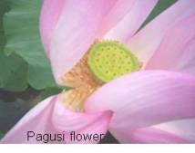 Pagusi flower